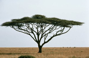 africantree